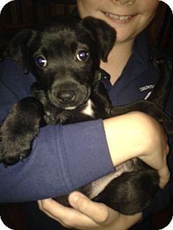 Labrador Retriever/Chihuahua Mix Puppy for adoption in New Oxford, Pennsylvania - Marlin