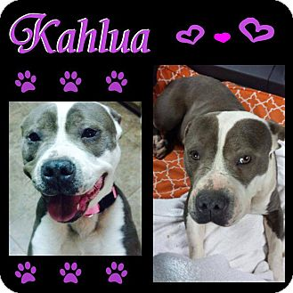 American Pit Bull Terrier Mix Dog for adoption in Snellville, Georgia - Kahlua