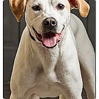 Adopt A Pet :: Dozer - Owensboro, KY