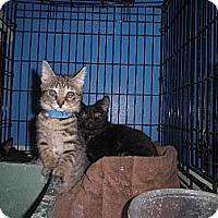 Adopt A Pet :: Topaz FeLV+ - Warren, MI