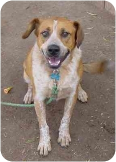 Beagle/Australian Cattle Dog Mix Dog for adoption in Scottsdale, Arizona - Koda