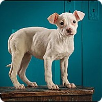 Adopt A Pet :: Piglet - Owensboro, KY