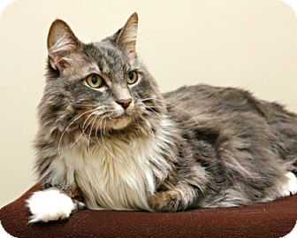 Domestic Longhair Cat for adoption in Bellingham, Washington - Snickers