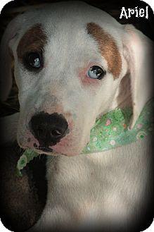 Great Dane/American Bulldog Mix Puppy for adoption in Glastonbury, Connecticut - Ariel