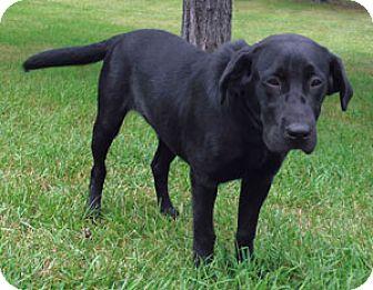 Labrador Retriever Mix Dog for adoption in Park Rapids, Minnesota - Jordon