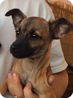 Chihuahua Mix Dog for adoption in Rancho Cucamonga, California - Lucy