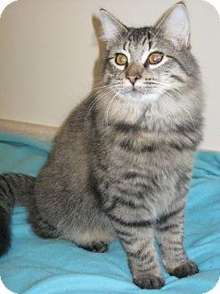 Domestic Longhair Cat for adoption in Bloomsburg, Pennsylvania - Rodney