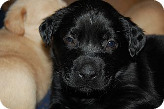 Labrador Retriever Mix Puppy for adoption in Charlotte, North Carolina - Breezey