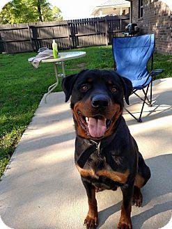 Rottweiler Dog for adoption in New Smyrna Beach, Florida - Sarge
