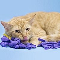 Domestic Shorthair Cat for adoption in Oviedo, Florida - Red