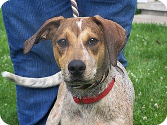 Redtick Coonhound Mix Puppy for adoption in Lake Orion, Michigan - Rex