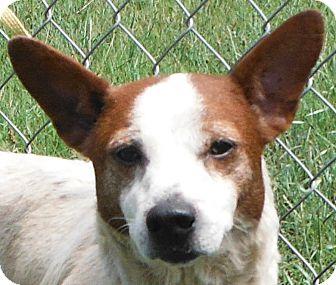 Jack Russell Terrier/Corgi Mix Dog for adoption in Cedartown, Georgia - 29472985