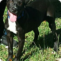 Pit Bull Terrier/American Pit Bull Terrier Mix Dog for adoption in Gaffney, South Carolina - Fetch