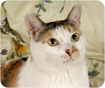 Domestic Shorthair Cat for adoption in Chicago, Illinois - Audra