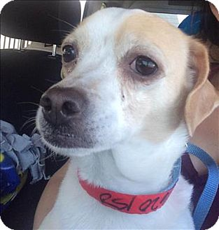 Chihuahua/Beagle Mix Dog for adoption in Encino, California - Misty