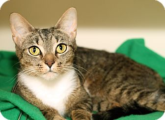 Domestic Shorthair Cat for adoption in Royal Oak, Michigan - CRYSTAL