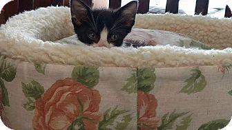 Domestic Shorthair Kitten for adoption in Texarkana, Arkansas - Little Man