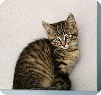 Domestic Shorthair Kitten for adoption in Gardnerville, Nevada - Kittens
