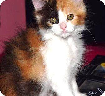 Calico Kitten for adoption in Riverside, California - zoey