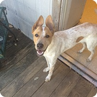 Adopt A Pet :: Ivy - Fair Oaks Ranch, TX