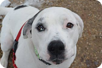 Boxer/Dalmatian Mix Dog for adoption in Meridian, Idaho - Candi