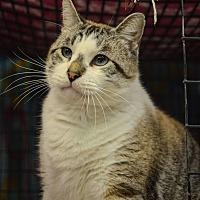 Adopt A Pet :: King Lear - Pittsburg, KS