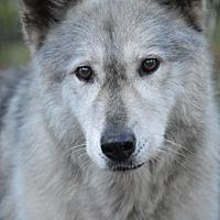 Adopt A Pet :: Wolfdog - Raisin - Orlando, FL