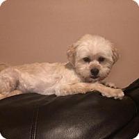 Adopt A Pet :: Gulliver - Hedgesville, WV