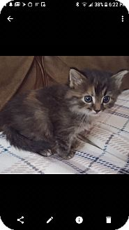 Domestic Mediumhair Kitten for adoption in Irwin, Pennsylvania - Rylee