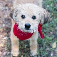 Adopt A Pet :: Benji Clensy - Carrollton, TX