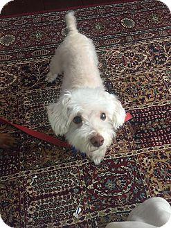 Miniature Poodle/Maltese Mix Dog for adoption in Goldens Bridge, New York - Oscar