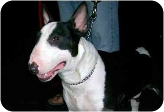 Bull Terrier Dog for adoption in Naples, Florida - Barkley