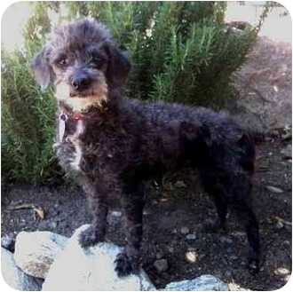 Poodle (Miniature) Dog for adoption in Tujunga, California - HULA GIRL