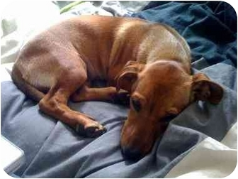 Dachshund Mix Dog for adoption in Burbank, California - Wilma