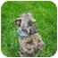 Photo 1 - Cairn Terrier Dog for adoption in Ft. Collins, Colorado - Bess