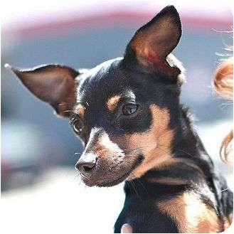Chihuahua Puppy for adoption in Berkeley, California - Lee Lee
