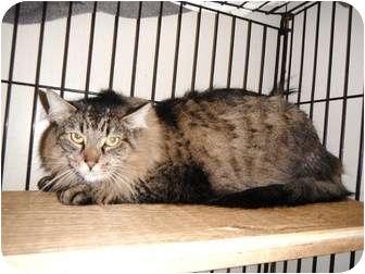 Maine Coon Cat for adoption in Maple Ridge, British Columbia - Boo