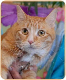 Domestic Shorthair Cat for adoption in Las Vegas, Nevada - Chuck