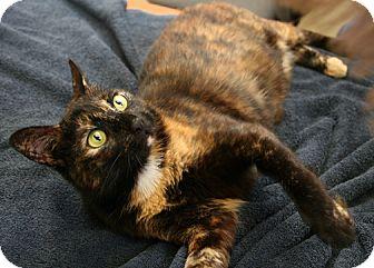Domestic Shorthair Cat for adoption in Secaucus, New Jersey - Natasha
