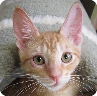 Domestic Shorthair Kitten for adoption in Winchester, California - Queso