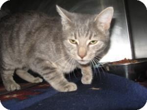 Domestic Shorthair Cat for adoption in Chambersburg, Pennsylvania - Cosmo