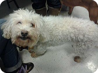 Poodle (Standard)/Bichon Frise Mix Dog for adoption in East Hartford, Connecticut - Harley in Ct