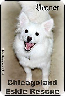 American Eskimo Dog Puppy for adoption in Elmhurst, Illinois - Eleanor