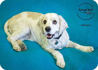 Cocker Spaniel Dog for adoption in Phoenix, Arizona - Edison