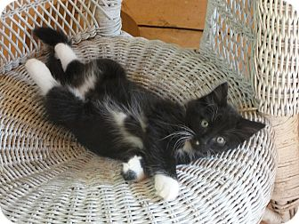 Domestic Longhair Kitten for adoption in Southington, Connecticut - Soulman