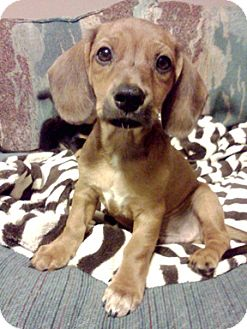 Dachshund/Jack Russell Terrier Mix Puppy for adoption in Richmond, Virginia - Kermit
