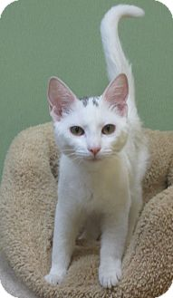 Domestic Shorthair Kitten for adoption in Benbrook, Texas - Monet