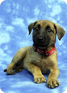 Shepherd (Unknown Type) Mix Puppy for adoption in Westminster, Colorado - Anne