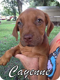 Pit Bull Terrier/Labrador Retriever Mix Puppy for adoption in Groveland, Florida - Cayenne (9 weeks)