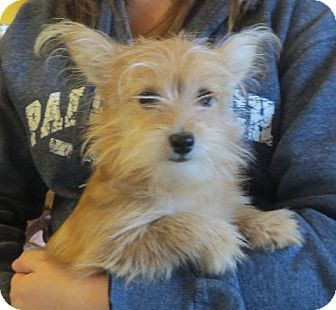 Pomeranian/Yorkie, Yorkshire Terrier Mix Puppy for adoption in Salem, New Hampshire - Ace